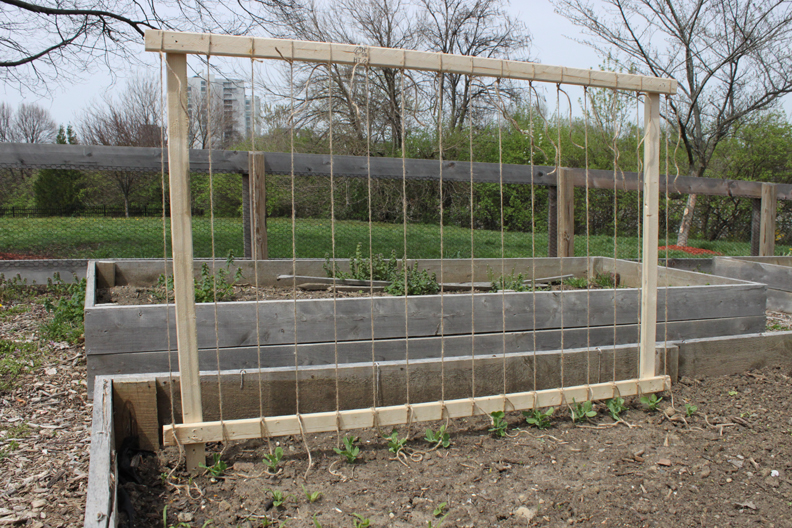 Attractive Trellis Ideas For Peas Part - 14: Pea_Trellis